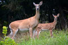 Mother and baby. A female white tail deer with her fawn, the baby standing slightly behind the doe Royalty Free Stock Photo