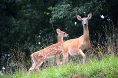 Mother and baby. A female white tail deer with her fawn, the baby standing slightly behind the doe Royalty Free Stock Image