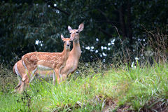Mother and baby. A female white tail deer with her fawn, the baby standing slightly in front of the doe Royalty Free Stock Images