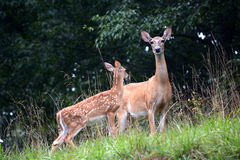 Mother and baby. A female white tail deer with her fawn, the baby standing slightly in front of the doe Royalty Free Stock Photos