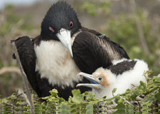 Mother and Baby Frigate Birds Royalty Free Stock Photography
