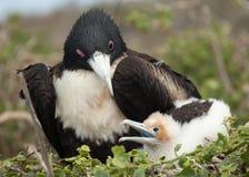 Mother and Baby Frigate Birds. On Isla Genovesa, Galapagos Islands, Ecuador stock photo