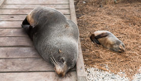 Mother and baby fur seals sleep on wooden walkway Stock Images