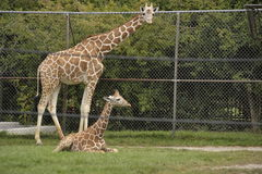 Mother and baby giraffe. Mother giraffe standing over baby giraffe Stock Photos