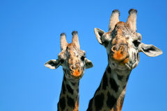 Mother and baby giraffe Stock Image