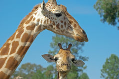 Mother and baby giraffe. A mother and baby giraffe together stock photo