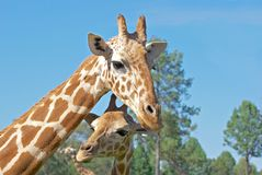 Mother and baby giraffe. A mother and baby giraffe together royalty free stock image