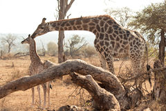 Mother and baby giraffe Stock Images