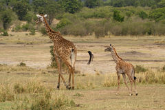 Mother and baby giraffe going for a walk Royalty Free Stock Image