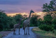 Two Giraffes on a Road During Twilight. Mother and baby giraffe walk along a dirt road during sunset Stock Photos