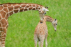 Mother and Baby Giraffes royalty free stock photo