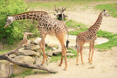 Mother and Baby Giraffes royalty free stock image