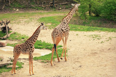 Mother and Baby Giraffes stock photos