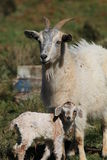 Mother and Baby Goat Royalty Free Stock Photos