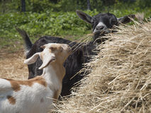 Mother And Baby Goat. Eating hay at a farm rural New York State Royalty Free Stock Photo