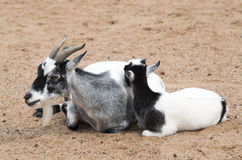 Mother and baby goat Stock Photos