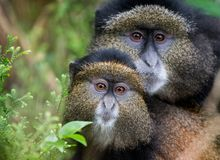 Mother and baby golden monkey. In Volcanoes National Park, Rwanda stock photography