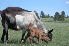 Mother and baby grazing. Royalty Free Stock Photos