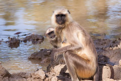 Mother and Baby Grey Langur Monkey Royalty Free Stock Photo