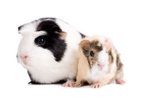 Mother and baby guinea pig. Sitting together on white royalty free stock photo