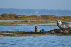 Mother and Baby Harbor Seal Pup in Casco Bay. Absolutely adorable mother and baby harbor seal pup in Casco Bay Maine Stock Photography