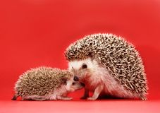 Mother and baby hedgehog Royalty Free Stock Photo