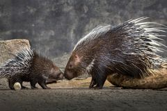 Mother and baby hedgehog Hystrix brachyura. Stock Images