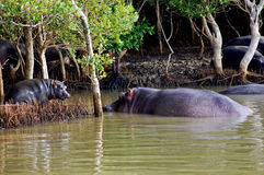 Mother and Baby Hippo Stock Photo