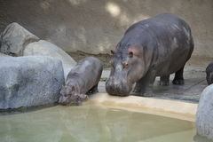 Mother and Baby Hippo Royalty Free Stock Photo