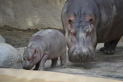 Mother and Baby Hippo Stock Image
