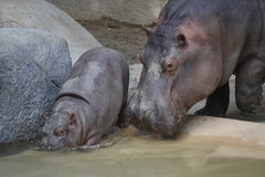Mother and Baby Hippo Royalty Free Stock Images