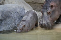 Mother and Baby Hippo Royalty Free Stock Image