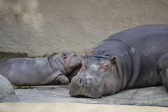 Mother and Baby Hippo Stock Photography