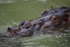 Mother and Baby Hippo Stock Images