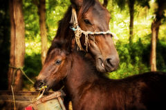 Mother and baby horse Royalty Free Stock Photos