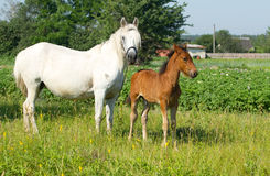 Mother and baby horse Stock Photography