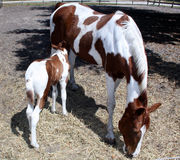 Mother and baby horse Stock Images