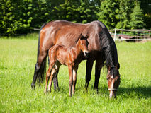 Mother and baby horse on meadow Stock Photo