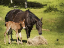 Mother and baby horse in pasture Royalty Free Stock Images