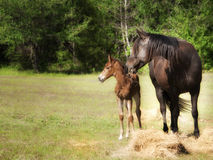 Mother and baby horse in pasture Royalty Free Stock Photography