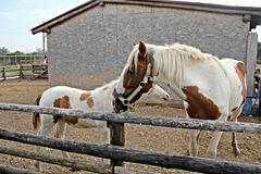 Mother and baby horses Royalty Free Stock Images