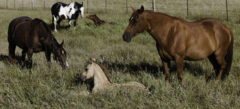 Mother and baby horses in field Royalty Free Stock Photo