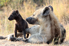 Mother and Baby Hyena. Taken of a mother and baby hyena in the Kruger National Park, South Africa just as the sun was rising royalty free stock images