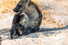 Mother and Baby Hyena at their whole interacting in botswana in Afrika at Moremi royalty free stock image