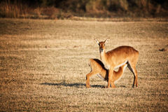 Mother and baby impala Stock Images