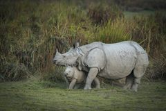 Mother and baby Indian Rhinoceros  at kazhiranga National park, Assam. Mother and baby Indian Rhinoceros at kazhiranga National park, Assam, Indian stock photography