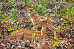 Mother and baby Japanese deer Stock Photo
