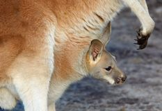 Mother and baby kangaroo. Mother and cute baby kangaroo royalty free stock photography