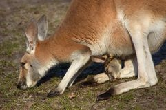 Mother and baby kangaroo. Mother and cute baby kangaroo stock photo