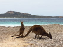 Mother and baby kangaroo at the beach. Mother and baby kangaroo at Lucky Bay beach in Cape Le Grand National Park Australia royalty free stock photos